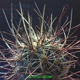 Sclerocactus polyancistrus Barstow, San Bernardino Co, USA. Щеплення, вік: 3,5 р. Власник: Я.П.Джура. Фото: Я.П.Джура.