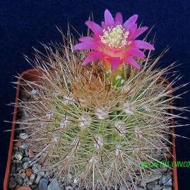 Neoporteria litoralis. Власник: А.Ю.Печерський. Фото: А.Ю.Печерський.
