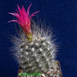 Neoporteria nidus v.senilis. Власник: А.Ю.Печерський. Фото: А.Ю.Печерський.