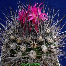 Neoporteria nigrihorrida. Власник: А.Ю.Печерський. Фото: А.Ю.Печерський.