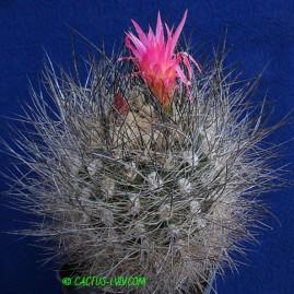 Neoporteria villosa. Власник: А.Ю.Печерський. Фото: А.Ю.Печерський.
