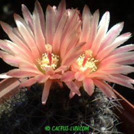 Pyrrhocactus carrizalensis. Вік рослини: 15 р.(посів 2003р.). Фото: Я.П.Джура.