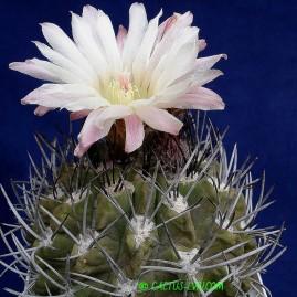 Pyrrhocactus echinus. Власник: А.Ю.Печерський. Фото: А.Ю.Печерський.