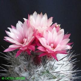 Pyrrhocactus floccosus. Власник: А.Ю.Печерський. Фото: А.Ю.Печерський.