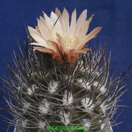 Pyrrhocactus megliolii. Власник: А.Ю.Печерський. Фото: А.Ю.Печерський.