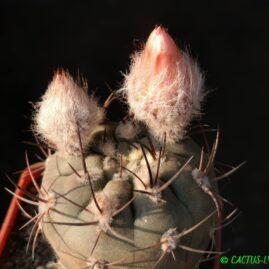 Pyrrhocactus villicumensis RS 1908 Matacuzanos, Arg. Щеплення, вік: 5 р. Власник: Я.П.Джура. Фото: Я.П.Джура.