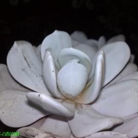 Echeveria lauii. Власник: Я.П.Джура. Фото: Я.П.Джура.