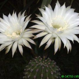 Echinopsis eyriesii. Використовують як підщепу. Вік рослини: 33 р.(з 1983р.). Власник: Я.П.Джура. Фото: Я.П.Джура.