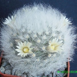 Mammillaria albicoma. Власник: А.Ю.Печерський. Фото: А.Ю.Печерський.