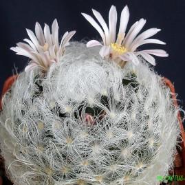 Mammillaria aureilanata. Власник: А.Ю.Печерський. Фото: А.Ю.Печерський.