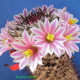 Mammillaria blossfeldiana. Власник: А.Ю.Печерський. Фото: А.Ю.Печерський.