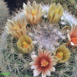 Mammillaria candida. Власник: І.Бець. Фото: І.Бець.