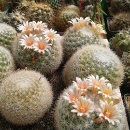 Mammillaria candida. Група рослин з колекції І.Беця. Фото: І.Бець.