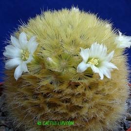 Mammillaria carmenae. Власник: А.Ю.Печерський. Фото: А.Ю.Печерський.