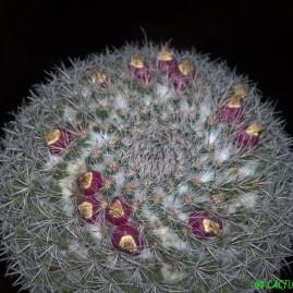 Mammillaria chionocephala. Вік рослини: 24 р. Власник: Я.П.Джура. Фото: Я.П.Джура.