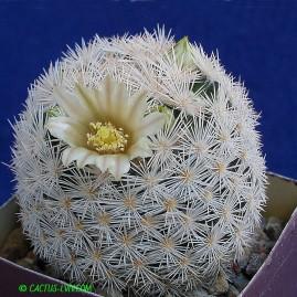 Mammillaria egregii. Власник: А.Ю.Печерський. Фото: А.Ю.Печерський.