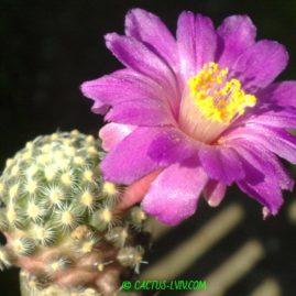 Mammillaria goldii Nacozari, Son. Щеплення, вік: 1 р. і 6 міс. Власник: Я.П.Джура. Фото: Я.П.Джура.