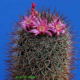 Mammillaria hofmannii. Власник: А.Ю.Печерський. Фото: А.Ю.Печерський.