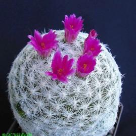 Mammillaria humboldtii. Власник: А.Ю.Печерський. Фото: А.Ю.Печерський.