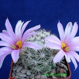 Mammillaria insularis. Власник: А.Ю.Печерський. Фото: А.Ю.Печерський.