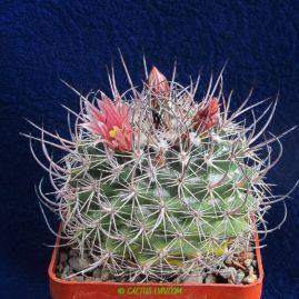 Mammillaria johnstonii. Власник: А.Ю.Печерський. Фото: А.Ю.Печерський.