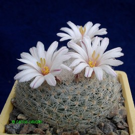 Mammillaria lenta. Власник: А.Ю.Печерський. Фото: А.Ю.Печерський.