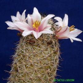 Mammillaria louisae. Власник: А.Ю.Печерський. Фото: А.Ю.Печерський.