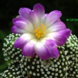 Mammillaria luethyi. Щеплення, вік: 3 р. Власник: Я.П.Джура. Фото: Я.П.Джура.