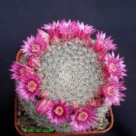 Mammillaria perbella. Власник: А.Ю.Печерський. Фото: А.Ю.Печерський.
