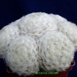 Mammillaria plumosa. Власник: А.Ю.Печерський. Фото: А.Ю.Печерський.