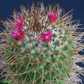 Mammillaria polythele. Власник: А.Ю.Печерський. Фото: А.Ю.Печерський.