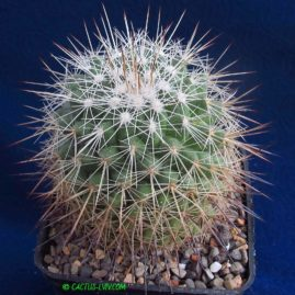 Mammillaria rubrograndis. Власник: А.Ю.Печерський. Фото: А.Ю.Печерський.