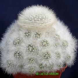 Mammillaria schwarzii. Власник: А.Ю.Печерський. Фото: А.Ю.Печерський.