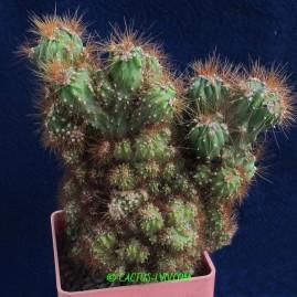 Cereus peruvianus f.monstrosa. Власник: А.Ю.Печерський. Фото: А.Ю.Печерський.