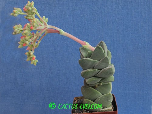 Crassula cv.Moonglov