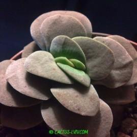 Crassula cv.Morgans Beauty. Період цвітіння: грудень – січень. Власник: Я.П.Джура. Фото: Я.П.Джура.
