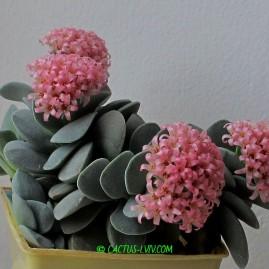 Crassula cv.Morgans Beauty. Період цвітіння: грудень – січень. Власник: А.Ю.Печерський. Фото: А.Ю.Печерський.