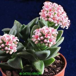 Crassula cv.Springtime. Період цвітіння: грудень – січень. Власник: А.Ю.Печерський. Фото: А.Ю.Печерський.
