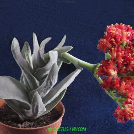 Crassula falcata. Синонім: Crassula perfoliata v.falcata. Власник: А.Ю.Печерський. Фото: А.Ю.Печерський.