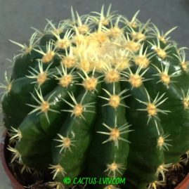 Echinocactus grusonii forma intermedius. Фото: Я.П.Джура.
