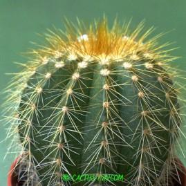 Eriocactus claviceps. Власник: Я.П.Джура. Фото: Я.П.Джура.