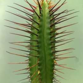 Euphorbia enopla. Фото: Я.П.Джура.