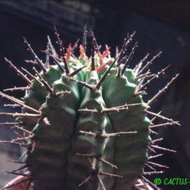 Euphorbia horrida. Фото: Я.П.Джура.