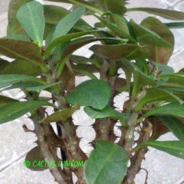 Euphorbia milii cv.Vulcanus. Фото: Я.П.Джура.