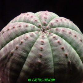 Euphorbia obesa. Молода рослина у віці 2 р. Власник: Я.П.Джура. Фото: Я.П.Джура.