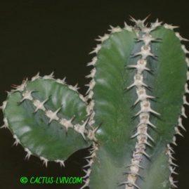 Euphorbia polyacantha. Фото: Я.П.Джура.
