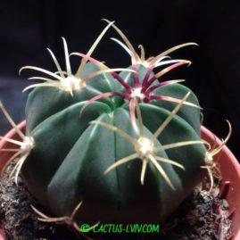Ferocactus latispinus. Молода рослина. Фото: Я.П.Джура.