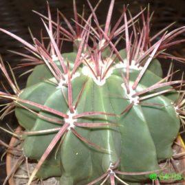 Ferocactus stainesii. Фото: Я.П.Джура.