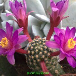 Mammillaria goldii Nacozari, Son. Щеплення, вік: 1 р. і 7 міс. Власник: Я.П.Джура. Фото: Я.П.Джура.