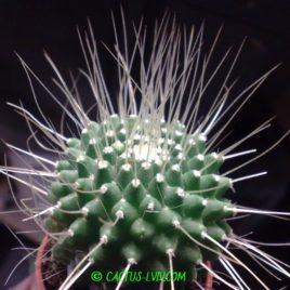 Mammillaria spinosissima cv.Un Pico